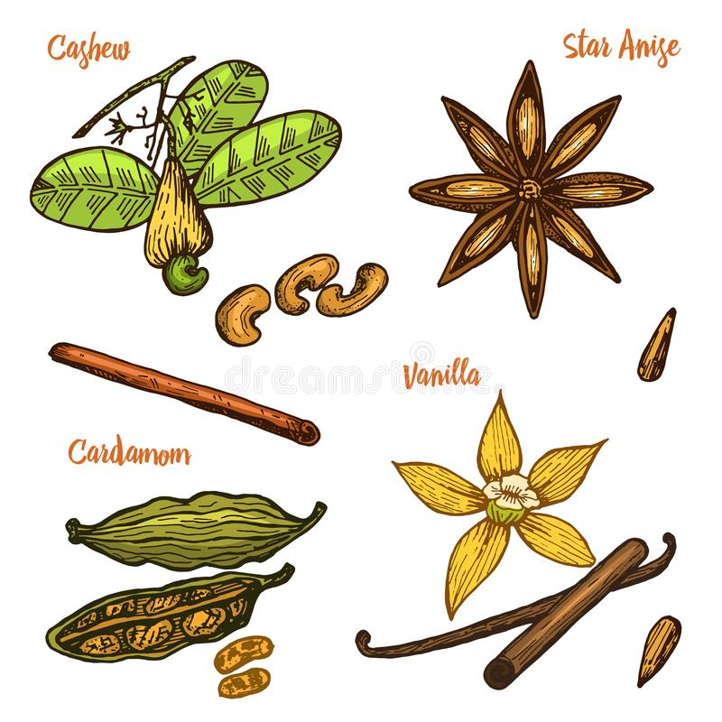 Herbs, condiments and spices. Vanilla and cinnamon, cashew and cardamom, seeds and star anise for the menu. Organic royalty free illustration
