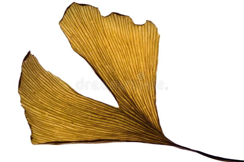 Herbs - dried ginkgo biloba leaf stock image