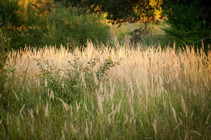 Herbs and ears in the evening. Light of the sun. High dry grass at the end of summer royalty free stock images