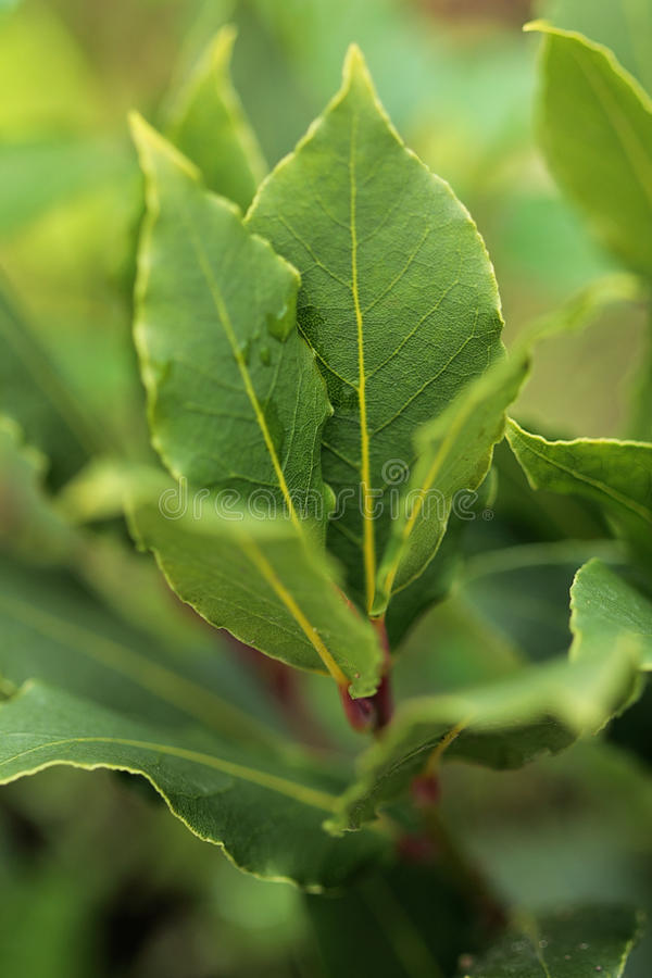 Free Herbs. Fresh Branch Of Laurel In The Garden. Royalty Free Stock Photography - 58180877
