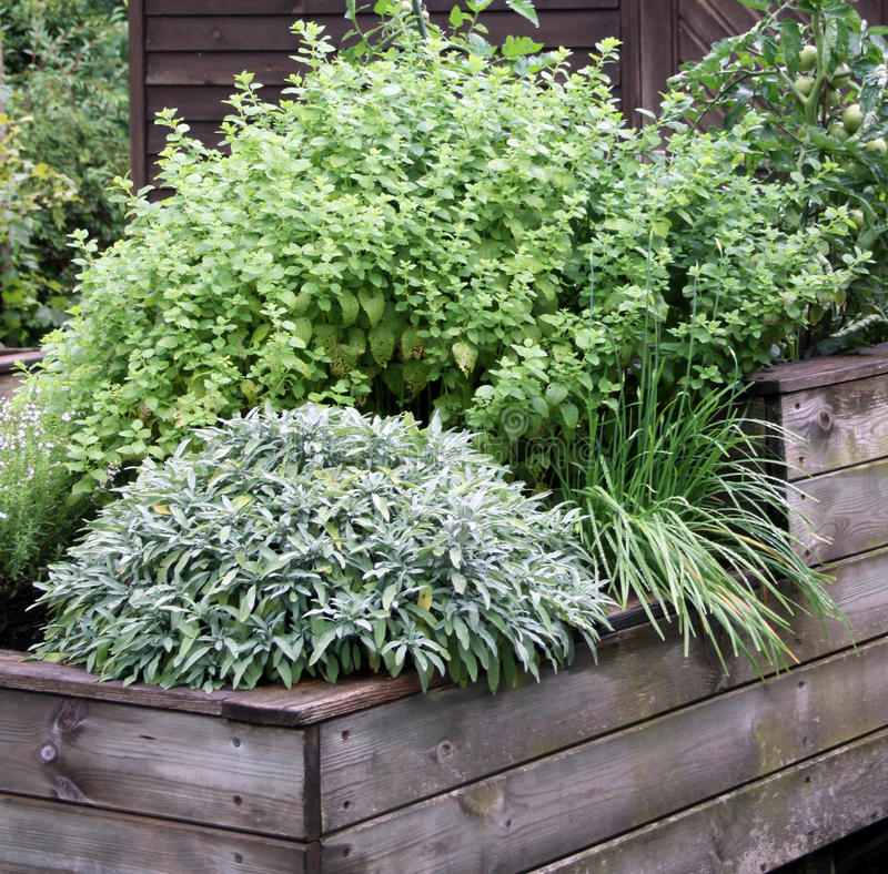 Herbs plant on the raised garden bed royalty free stock image