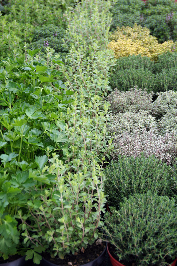 Download Herbs in pot for sale stock photo. Image of ecology, varied - 8851924