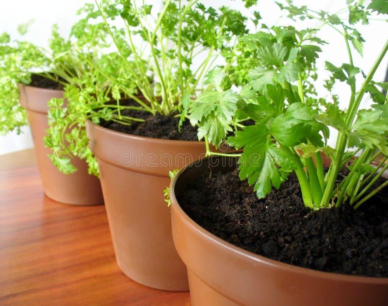 Herbs in pots stock photo