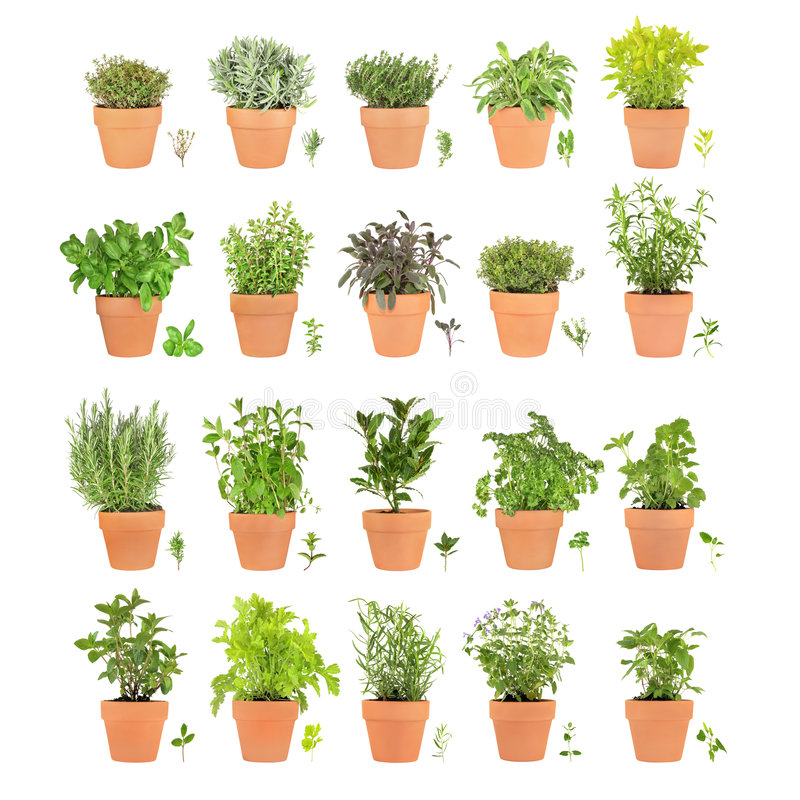 Herbs in Pots with Leaf Sprigs. Large herb selection growing in terracotta pots with leaf sprigs over white background. Varieties of spearmint, bay, flat leaved royalty free stock image
