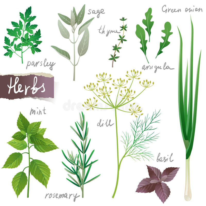 Herbs set. Aromatic herbs set over white background
