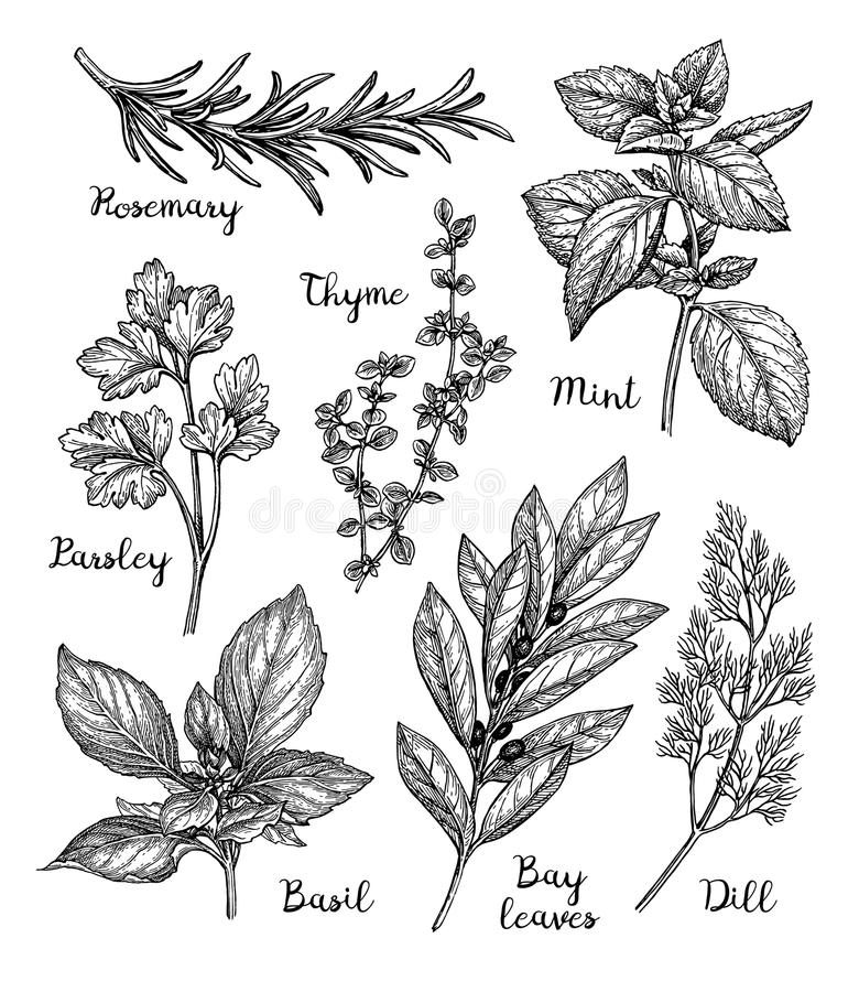 Ink sketch of herbs. Herbs set. Ink sketch isolated on white background. Hand drawn vector illustration. Retro style stock illustration