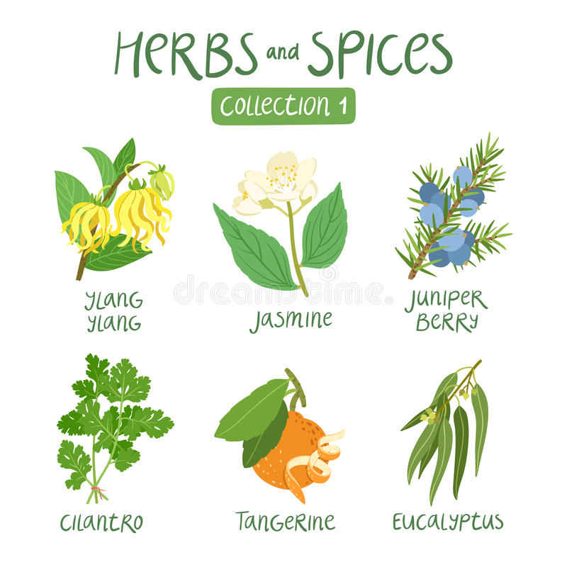 Herbs and spices collection 1. For essential oils, ayurvedic medicine royalty free illustration