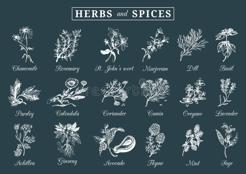 Herbs and spices set. Hand drawn officinalis, medicinal, cosmetic plants. Botanical illustrations for tags. cards etc. royalty free illustration