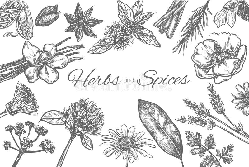 Herbs and Spices vector template. Frame in sketch style. Hand drawn royalty free illustration
