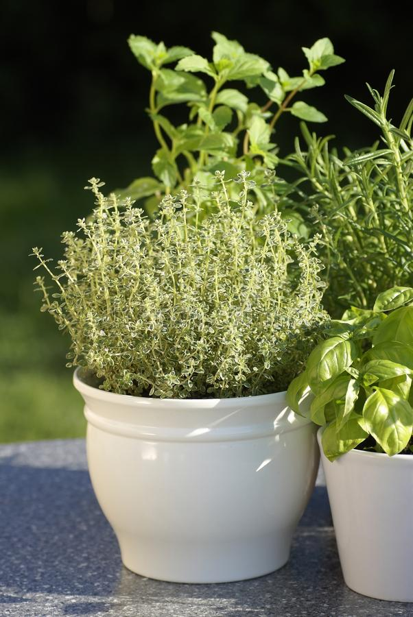 Herbs. Thyme, basil, rosemary, mint in flower pots royalty free stock photo