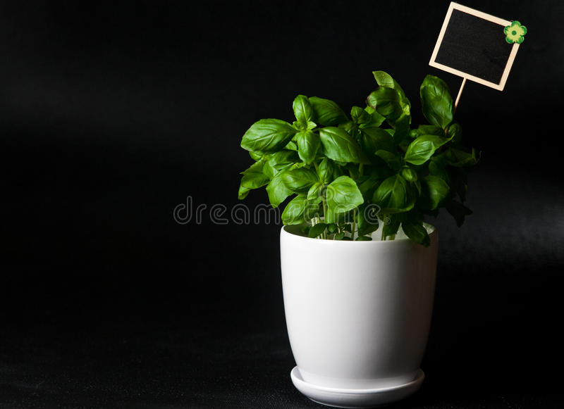 Herbs in white pot on black background Basil. Food and culinary ingredients, green herbs in white pot on black background. Whole series with sebczseries924 royalty free stock photos