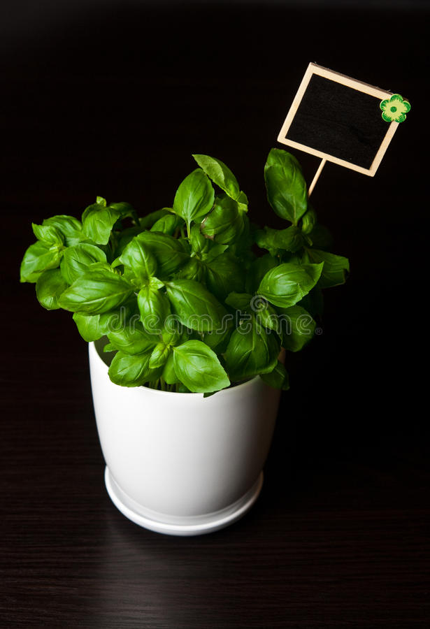 Herbs in white pot on black background Basil royalty free stock images