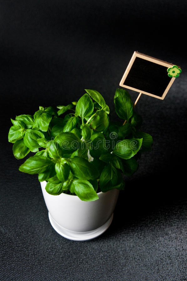 Herbs in white pot on black background Basil royalty free stock photography