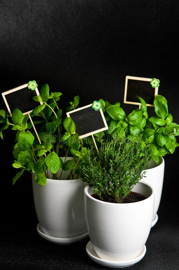 Herbs in white pot on black background. Basil, thyme and mint. Food and culinary ingredients, green herbs in white pot on black background. Whole series with royalty free stock photo