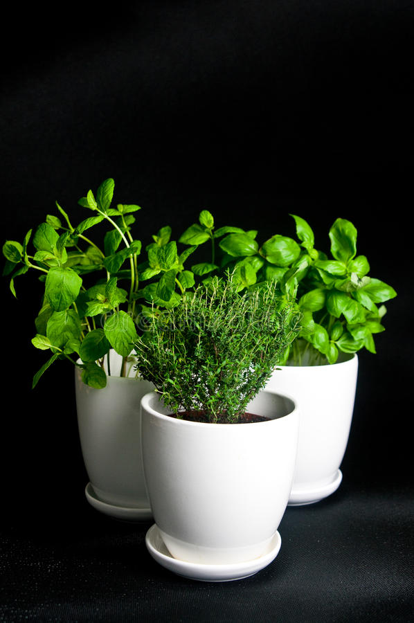 Herbs in white pot on black background. Basil, thyme and mint. royalty free stock photography