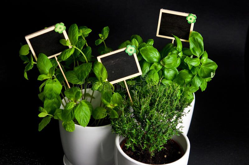Herbs in white pot on black background. Basil, thyme and mint. stock photography