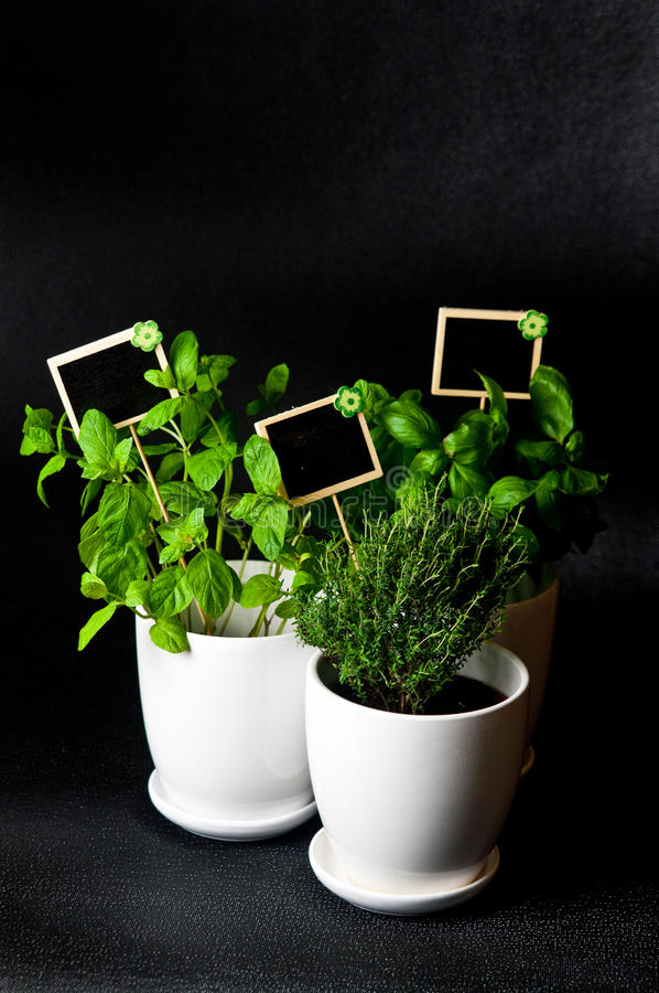 Herbs in white pot on black background. Basil, thyme and mint. royalty free stock photos