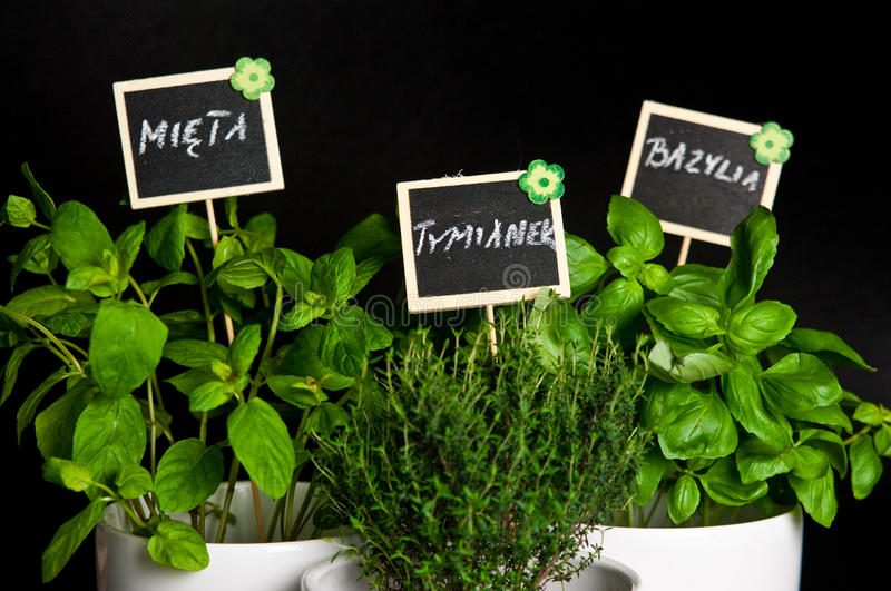 Herbs in white pot on black background. Basil, thyme and mint. Food and culinary ingredients, green herbs in white pot on black background. Whole series with stock photography