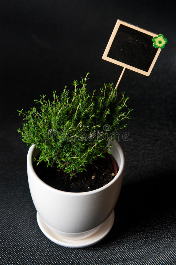Herbs in white pot on black background Thyme. Food and culinary ingredients, green herbs in white pot on black background. Whole series with sebczseries924 stock images
