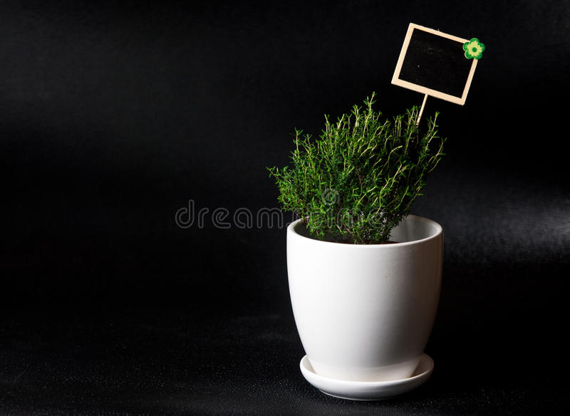 Herbs in white pot on black background Thyme. Food and culinary ingredients, green herbs in white pot on black background. Whole series with sebczseries924 royalty free stock images