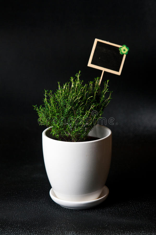 Herbs in white pot on black background Thyme. Food and culinary ingredients, green herbs in white pot on black background. Whole series with sebczseries924 royalty free stock photography