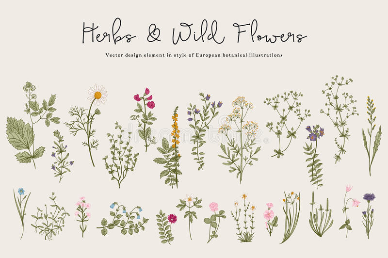 Herbs and Wild Flowers. Botany. Set. Vintage flowers. Colorful illustration in the style of engravings