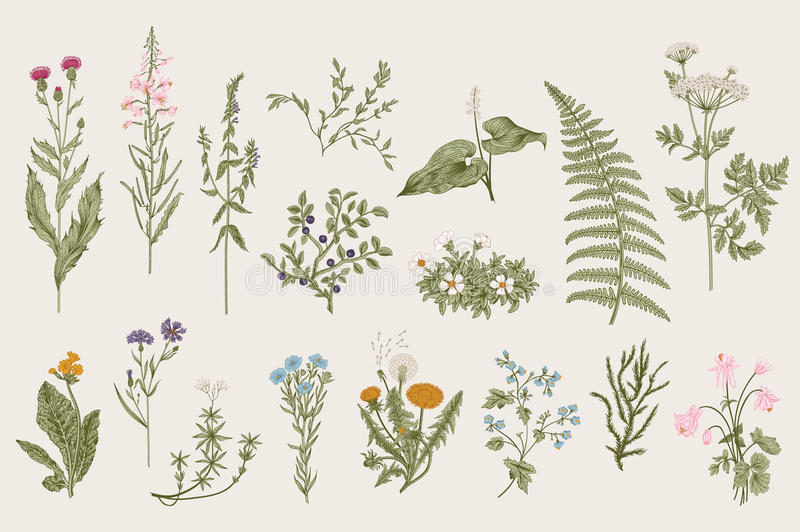 Herbs and Wild Flowers. Botany. Set. royalty free illustration