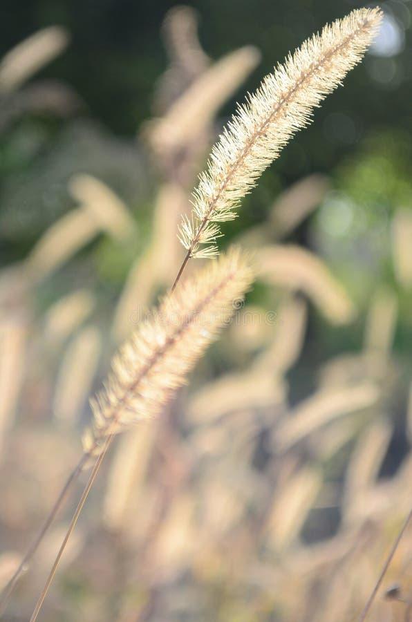 Herbstährchen lizenzfreies stockbild