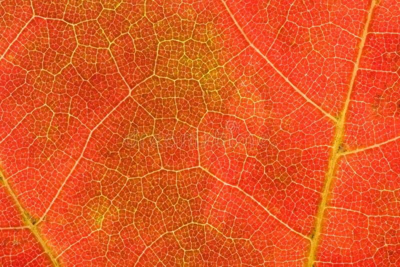 Herbst-Adern Lizenzfreie Stockfotografie