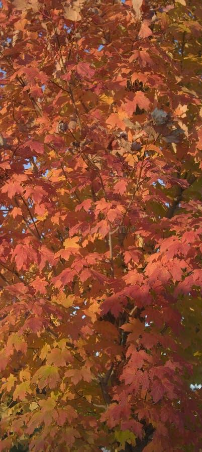 Herbst-Ahornblätter lizenzfreie stockbilder