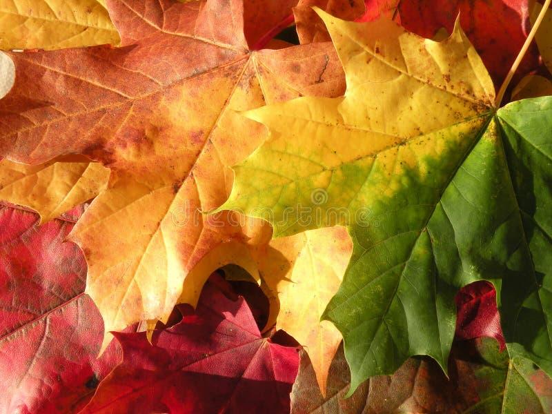 Herbst-Ahornblätter lizenzfreie stockfotos