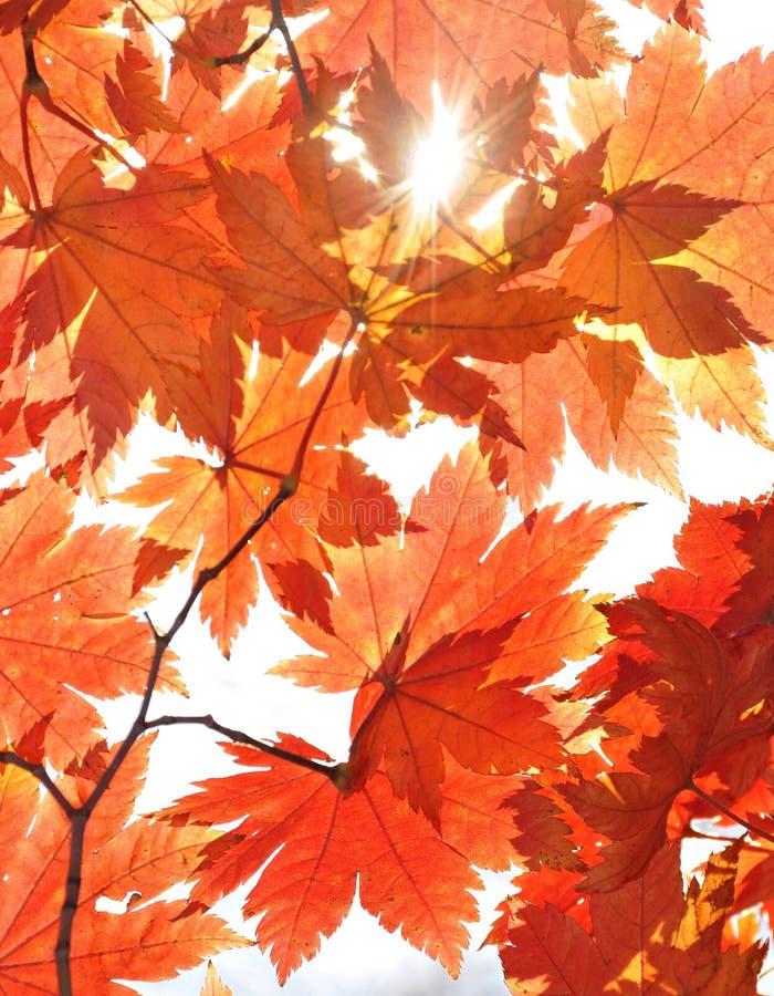 Herbst, Ahornblätter stockbild
