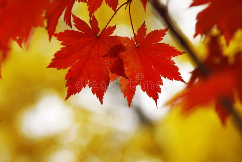 Herbst-Ahornblätter lizenzfreies stockfoto