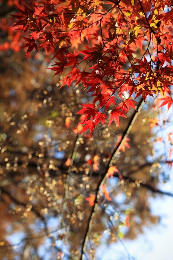 Herbst-Ahornblätter im Sonnenlicht lizenzfreies stockfoto