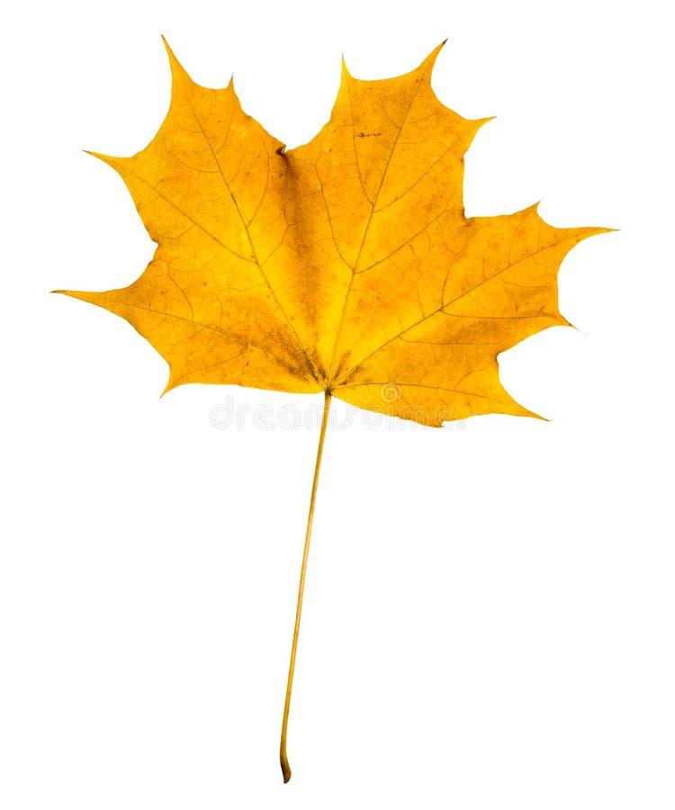 Herbst-Ahornblatt