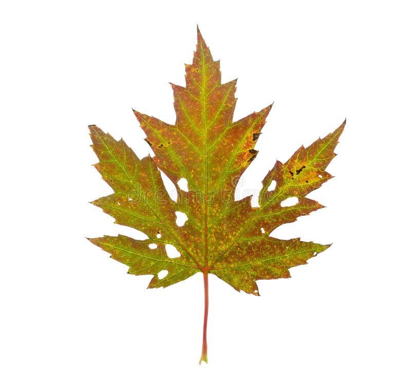 Herbst-Ahornblatt lizenzfreies stockbild