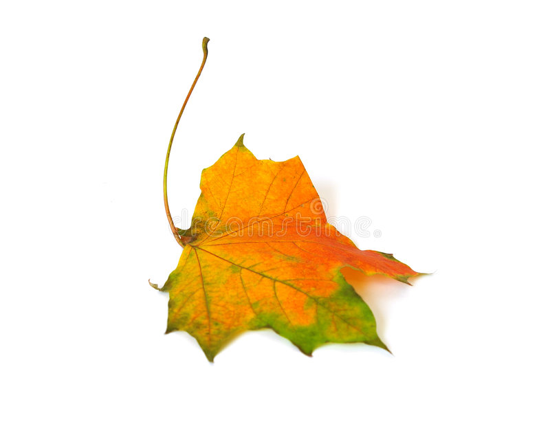 Herbst-Ahornblatt getrennt lizenzfreie stockfotos