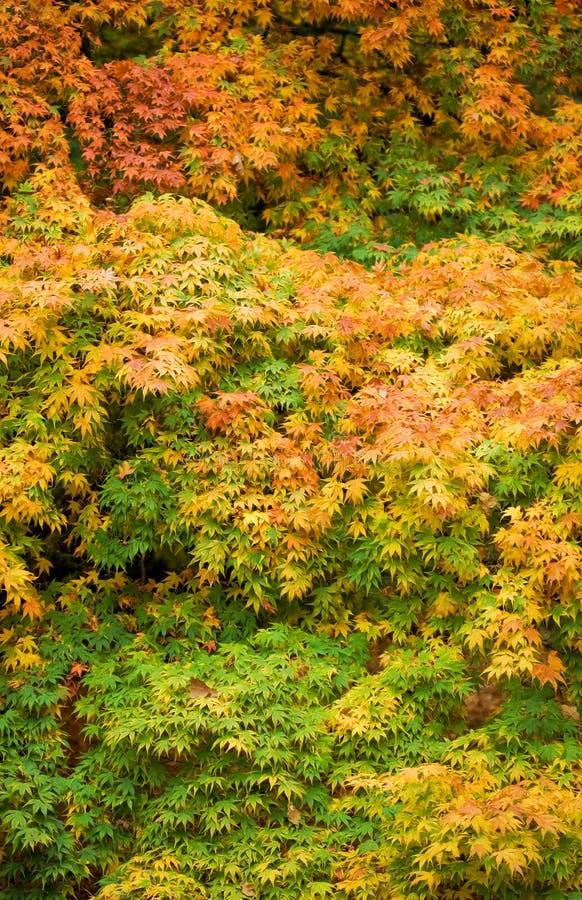 Herbst-Ahornholz stockfoto