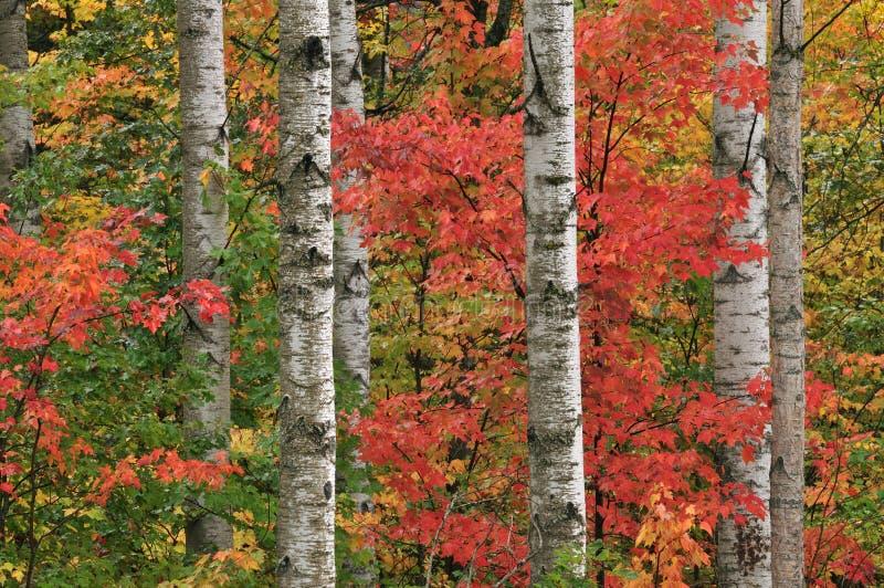 Herbst-Ahornholz und Espen lizenzfreies stockbild