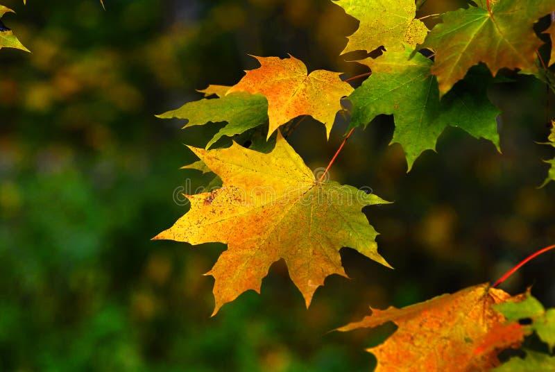Herbst. Ahornholzgelburlaub lizenzfreies stockfoto