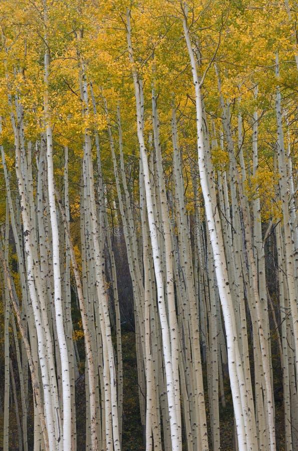 Herbst Aspen nahe Vail stockbild