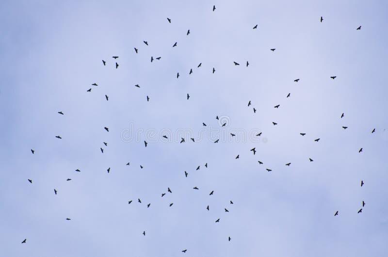 Herbst Ausgedehnt-Flügel Falke-Systemumstellung stockfoto
