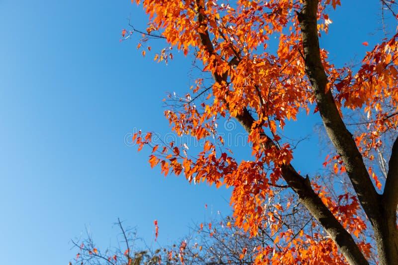 Herbst, Baum mit orange Blättern gegen den blauen Himmel Rotblätter auf einem Baum stockfotos