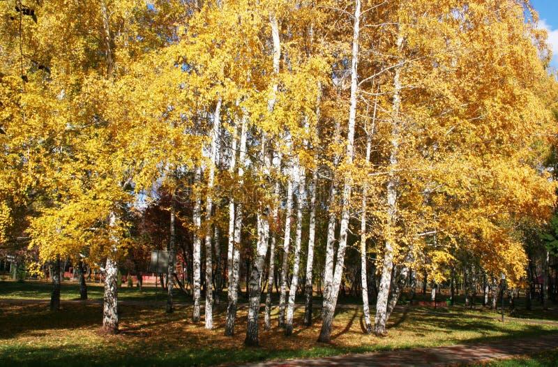 Herbst birchs lizenzfreies stockfoto