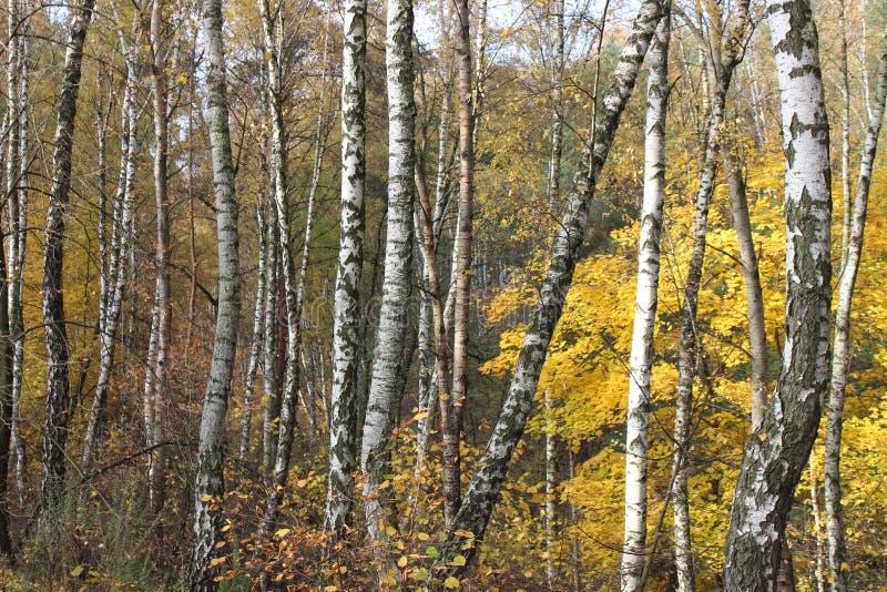 Herbst birchs lizenzfreies stockbild