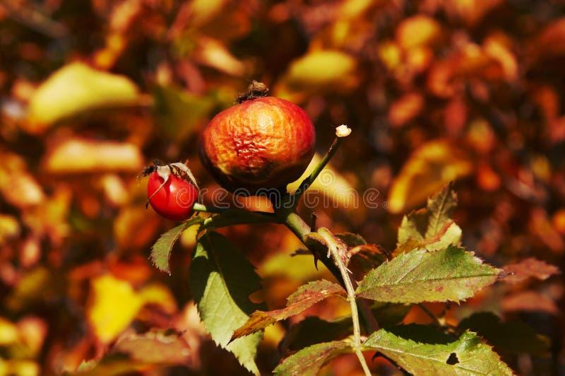 Herbst Brier lizenzfreies stockbild