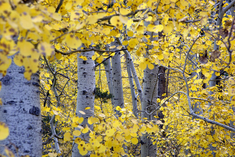 Herbst-Espen lizenzfreie stockfotografie