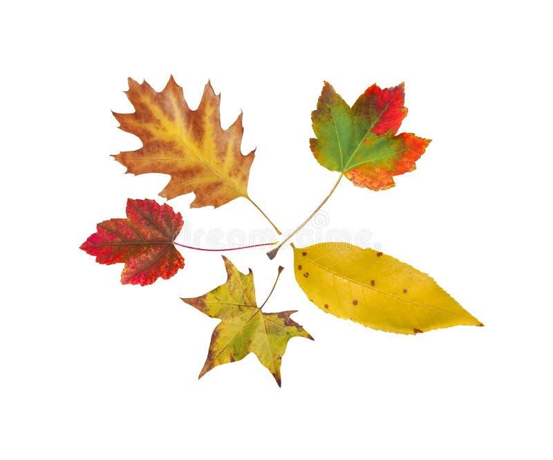 Herbst fünf vom natürlichen farbigen Blatt des Baums lokalisiert auf Weiß lizenzfreie stockbilder