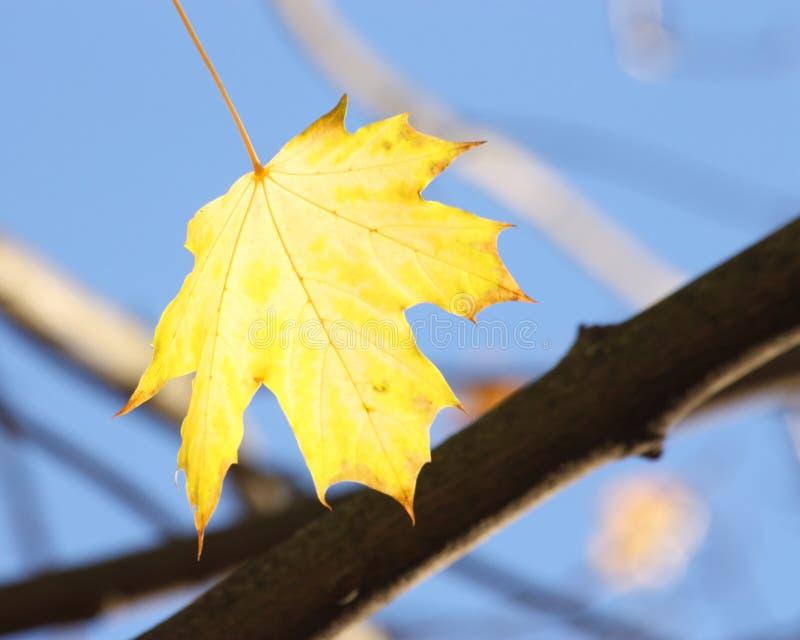Herbst-/Fall-Hintergrund - gelbes Ahornblatt lizenzfreies stockfoto