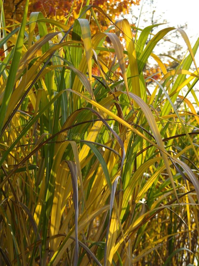 Herbst farbiges Schilf lizenzfreie stockfotografie